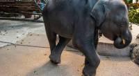 Умер слоненок Дамбо, сломавший ноги в зоопарке Пхукета во время шоу для туристов