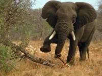В Китае три человека стали жертвами диких слонов