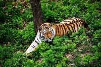 В Уссурийском заповеднике стали чаще появляться амурские тигры
