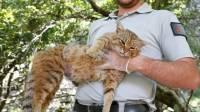 На Корсике обнаружили новый вид кошачьих