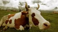 Названа родина современных быков и коров
