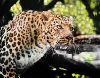 В Ингушетии обнаружены следы переднеазиатского леопарда, считавшегося вымершим
