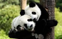 В Московском зоопарке готовятся отметить день рождения панд