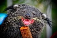 В Московском зоопарке поселился «кошачий медведь»