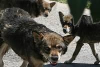 Под Тюменью бешеная собака напала на хозяйку
