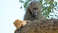 В ЮАР обитающий в национальном парке павиан усыновил львенка