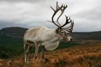 В Коми начали надевать спутниковые ошейники на диких северных оленей