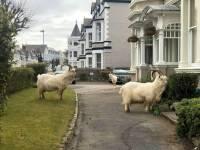 На улицы британского города вышли дикие козлы