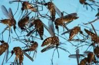 Комары-переносчики лихорадки Зика заполонили опустевшую Ибицу