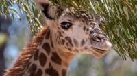 На Бали новорожденному жирафу дали имя Корона