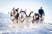 Ученые назвали родину ездовых собак