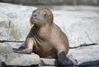 На побережье Карского моря в ЯНАО после уборки могут вернуться сотни моржей