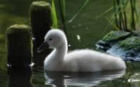 В зоопарке Калининграда за ночь погибли 18 водоплавающих птиц