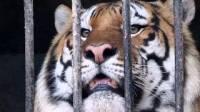 В Швейцарии тигрица смертельно травмировала женщину