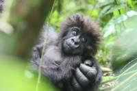 В Уганде с начала года родились семь детенышей горной гориллы
