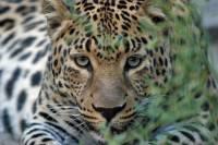 Леопард-«крестница» Стивена Сигала чуть не погибла, попав в браконьерскую ловушку