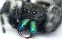 Ученые хотят создать обезболивающее на основе яда тарантула