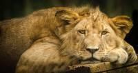 В Кении поймали бегавшего в городе молодого льва