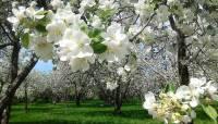 В «Ясной поляне» восстановят яблоневый сад, посаженный Толстым