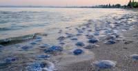 Глава Запорожья призвал судиться с РФ из-за нашествия медуз